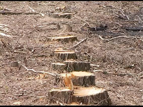 Де був ліс - лишилися пеньки.