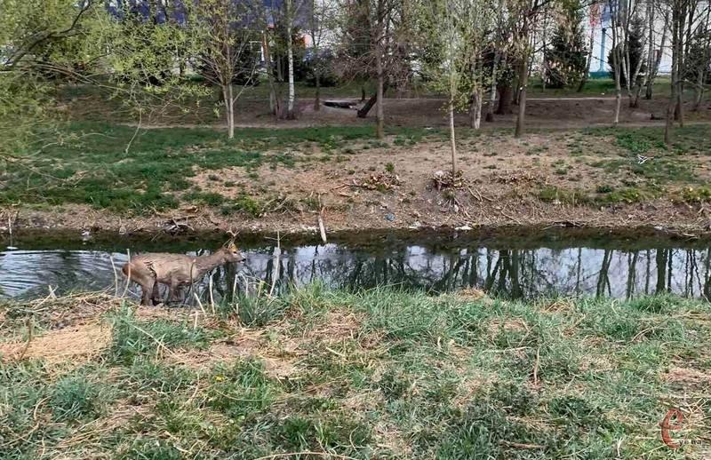 Торік під час жорсткого карантину природа настільки очистилася, що ... у Хмельницькому з'явилися олені