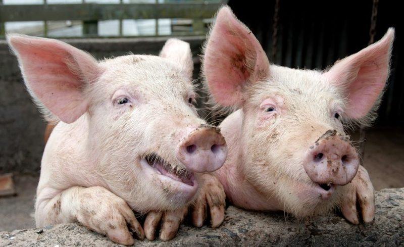 На підприємстві ТОВ «Оболонь Агро» вже знищено близько 550 свиней