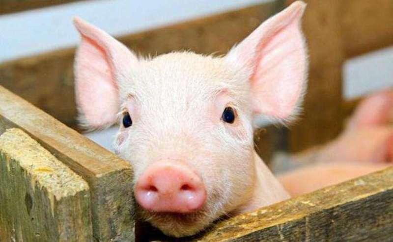 На Чемеровеччині читуацію із захворюванням свиней контролюють