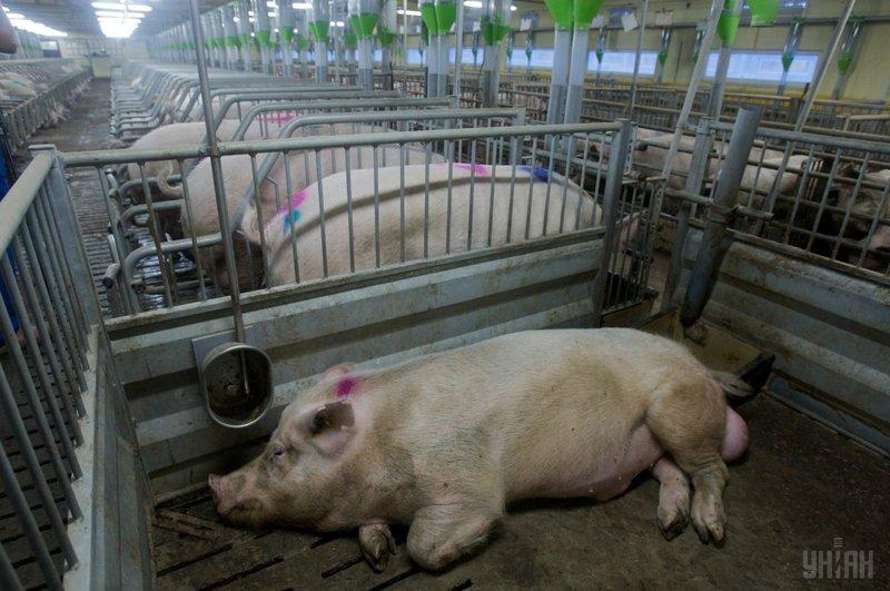 Білорусь обмежила ввезення української свинини через АЧС