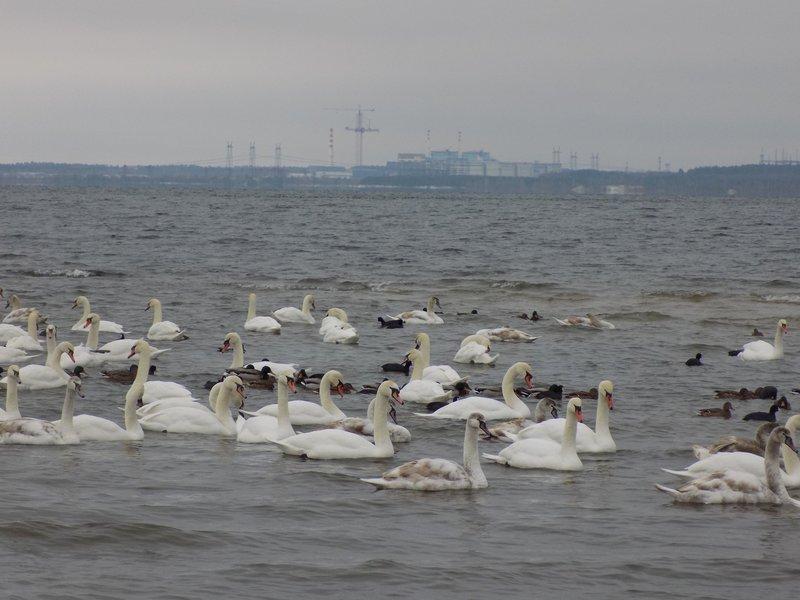 Щороку з настанням холодів сотні птахів злітаються на озеро атомної станції, щоб комфортно пережити морози