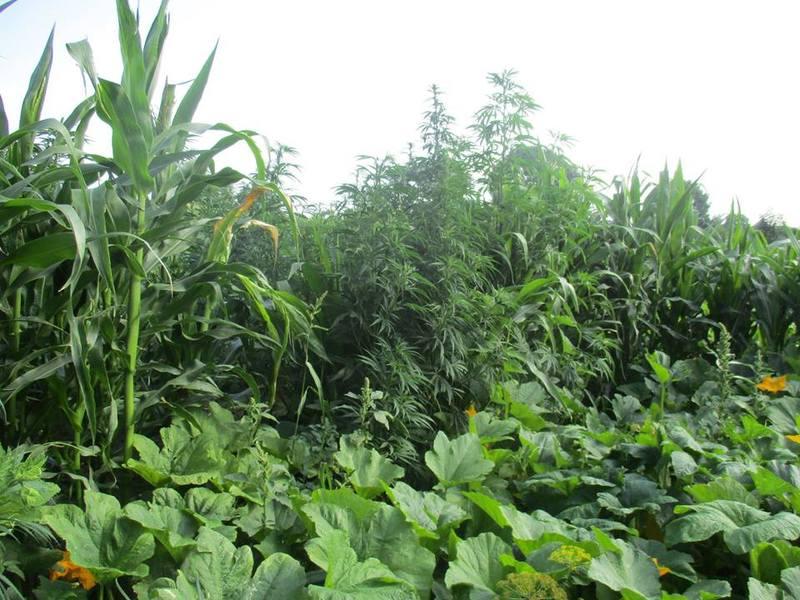 Чоловік вирощував коноплі на городі