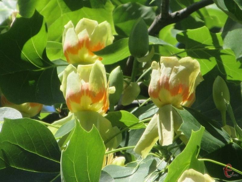 Екзотичні квіти на деревах цвітуть в Райківцях на Хмельниччині