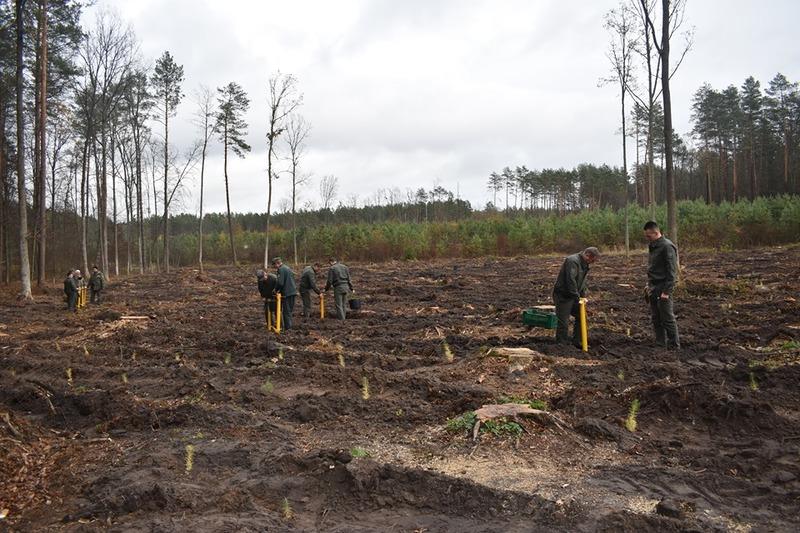Лісівники висаджують дерева