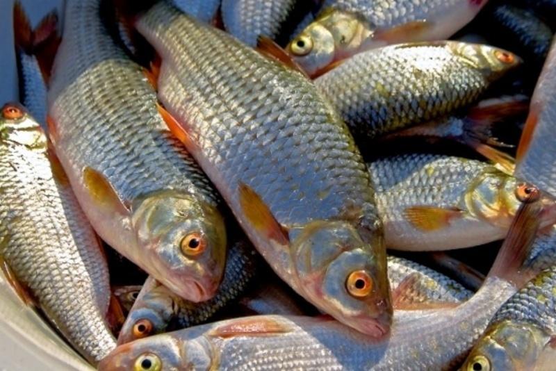 Добова норма вилову – не більше трьох кілограмів на одного рибалку