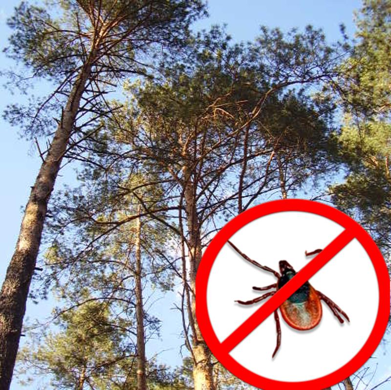 У хвойних лісах кліщі не водяться