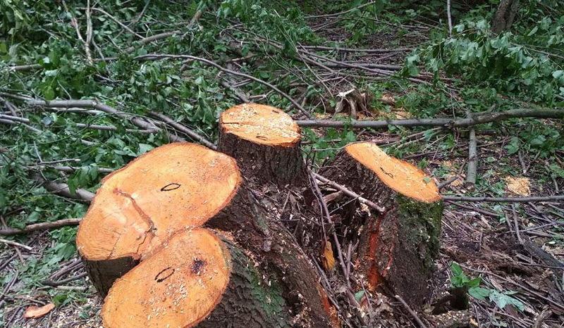 За самовільно зрубані дерева доведеться відшкодувати нанесені збитки державі
