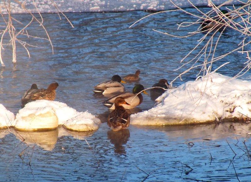 Найбільше на Голосківських джерелах зимує диких качок.