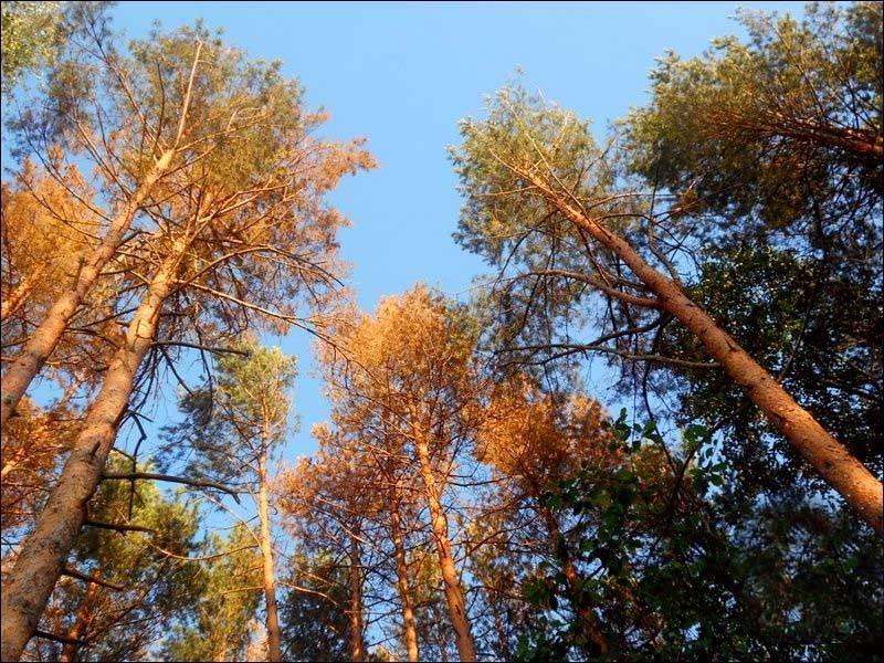 Лісові насадження знищує короїд