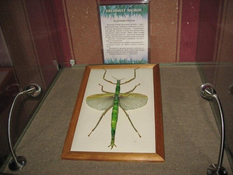 Побачити комаху-велетня можна в Хмельницькому обласному краєзнавчому музеї