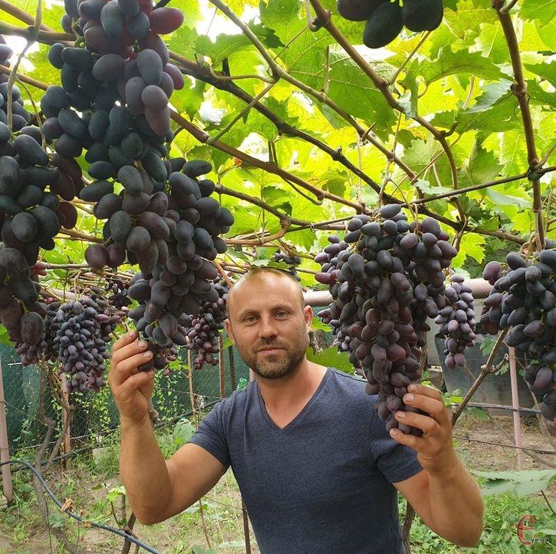 Пан Роман запевняє, що деякі сорти винограду дають до 50 кг ягід з куща!