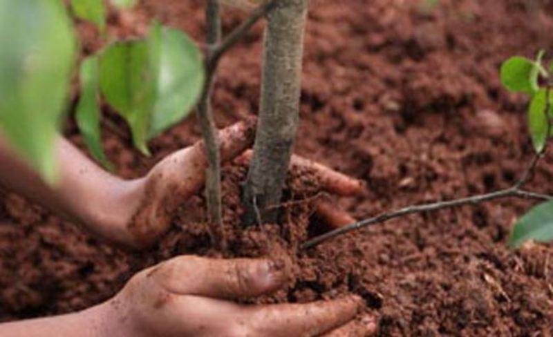 """Метою ініціативи """"Дерева Миру"""" є проявлення позиції за мир шляхом висадження дерев"""
