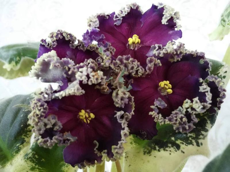 Хмельничани матимуть змогу побачити сортові фіалки найдивовижніших забарвлень, форм квітки і розмірів