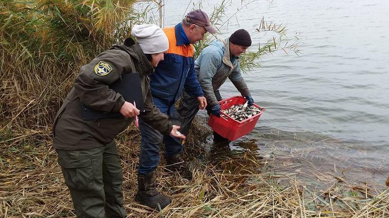 У водойму коропів та амурів будуть випускати восени, а хижі риби — весною