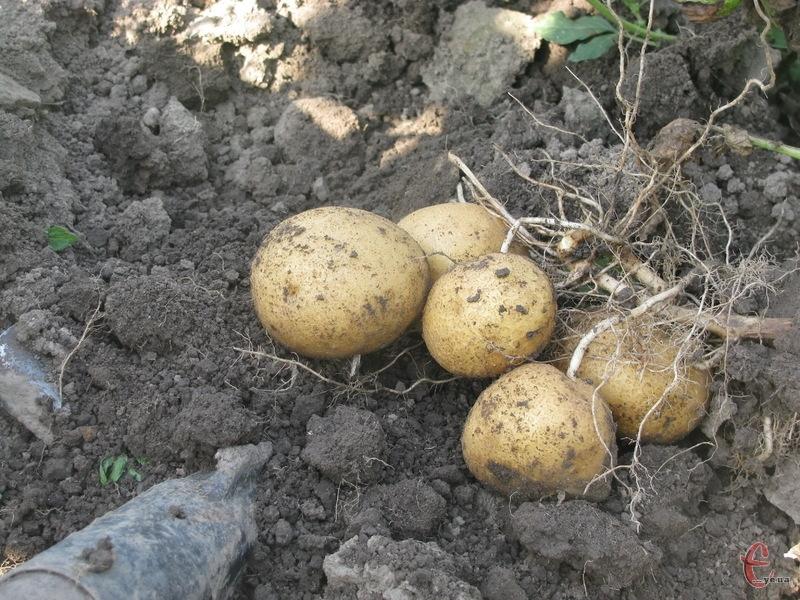 Торік картопля не тішила рекордами