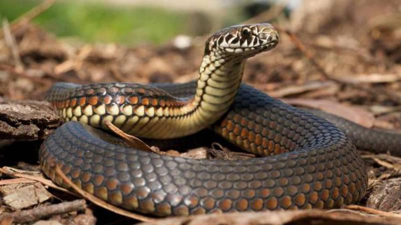 У разі укусу змії намагайтесь якнайшвидше потрапити до лікаря