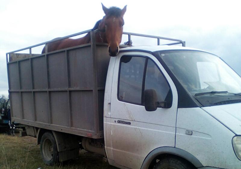 Викраденого коня того ж дня правоохоронці повернули власнику