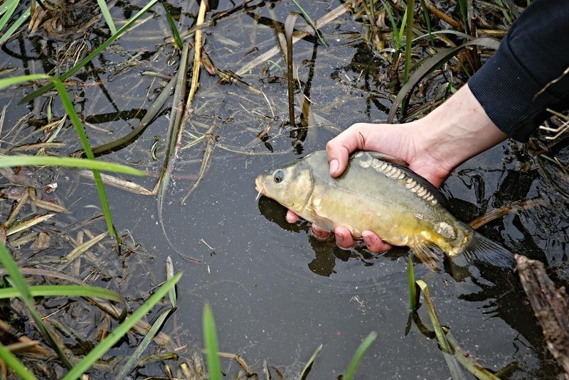 Рибу вирощують для того, щоб потім випустити у водойми