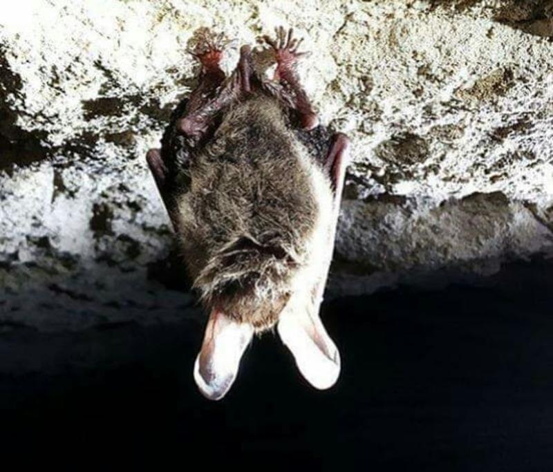 За понад 10 років моніторингу в Яцковецькій штольні виявили цей вид вперше