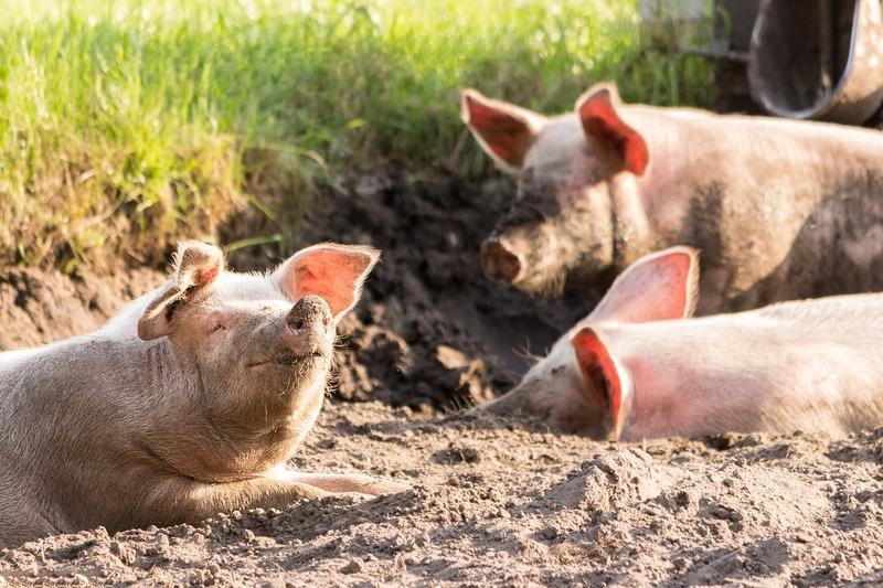 У Хмельницькій області більшість сільськогосподарських тварин торік утримувалася на господарствах населення