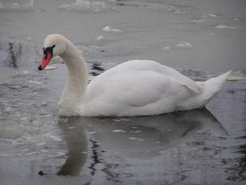 Працівники Служби порятунку дістали птахів з крижаної поверхні та доставили їх у водойму без льодового покриву