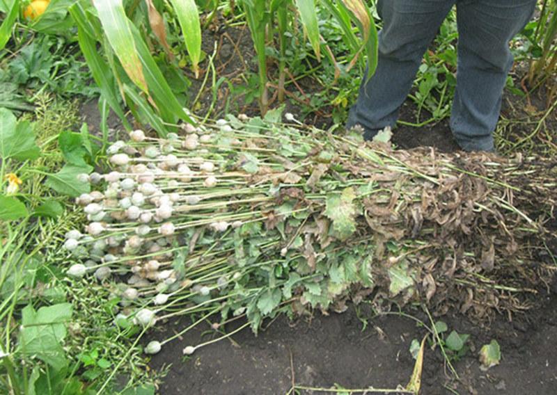 Пенсіонерка виростила майже чотири сотні кущів маку, заховавши їх у кукурудзі