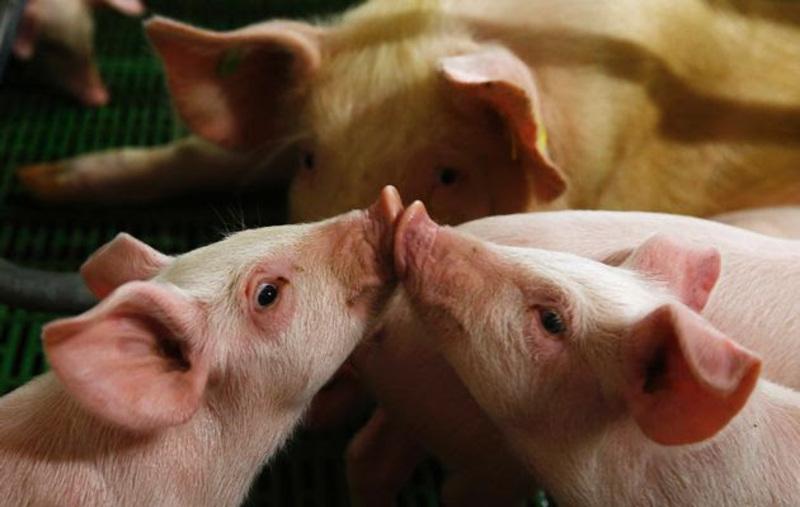 На ринках стихійної торгівлі заборонили торгівлю живими свиньми