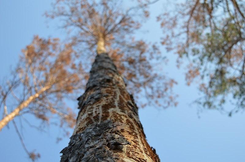 Всихання лісів спричинене короїдом