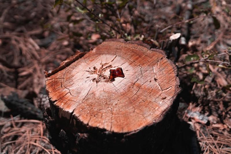 Загалом виявили майже вісім десятків зрубаних дерев