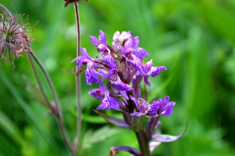 Це одна з найбільших наразі популяція цих рідкісних квітів на території Національного природного парку