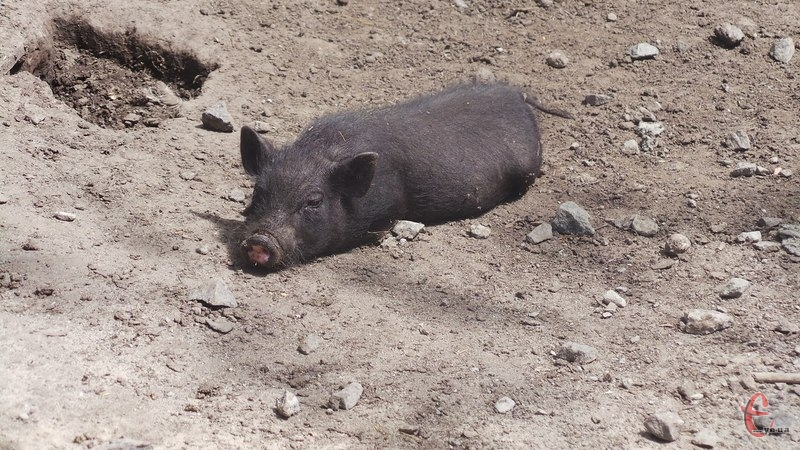 Від африканської чуми загинули тварини на свинофермі