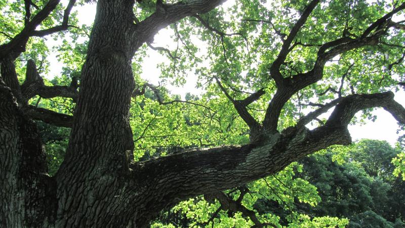Найстаріше дерево на Хмельниччині зростає у Славутському районі