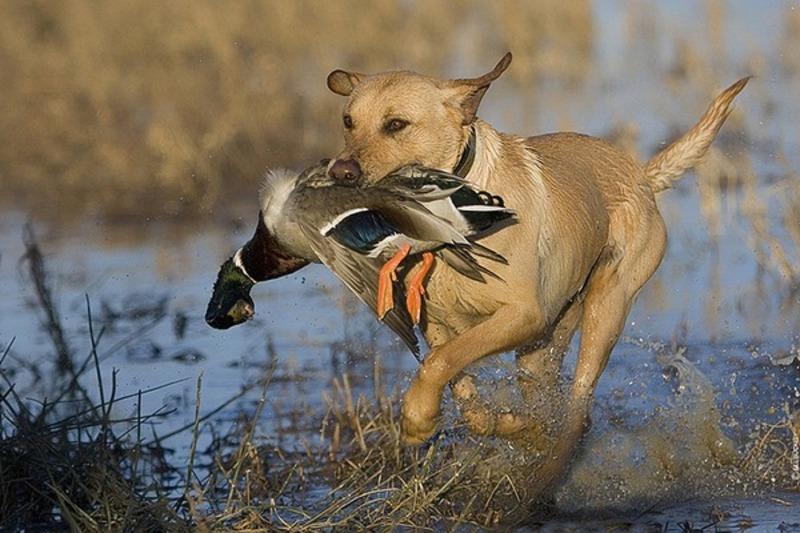 З 4 серпня стартує сезон полювання на пернату дичину