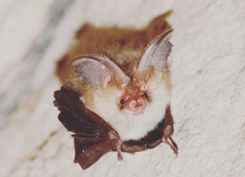 Вухань звичайний - один з майже двох десятків кажанів, які водяться на Поділлі