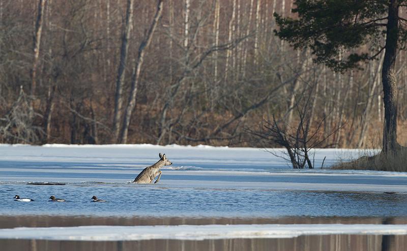 Косулю врятували і тварина дісталася берега
