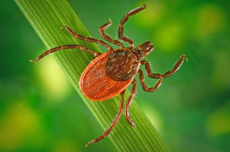 У траві чатують кліщі, які можуть заразити небезпечною хворобою