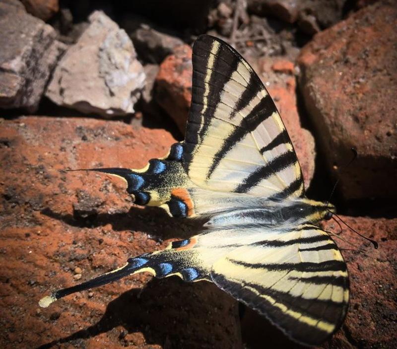 Подалірій – один з найбільших європейських метеликів з розмахом крил 60-75 міліметрів