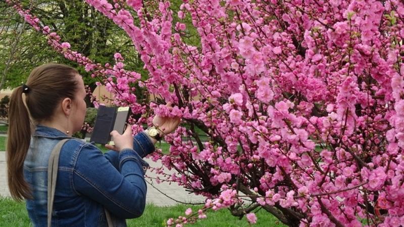 У Хмельницькому зацвіли сакури