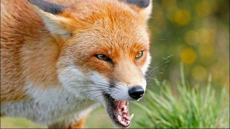 За попередніми висновками тварини можуть бути хворі на сказ