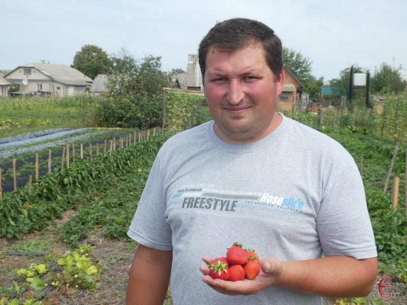 Зі своєї полуничної мініплантації Дмитро Соловей збирає 100-120 кг ягід за один підхід!