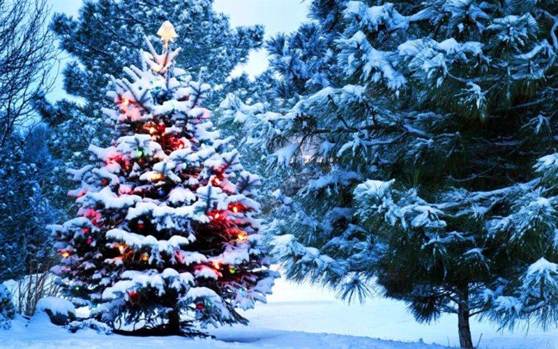 Деревце висотою до метра в середньому коштуватиме 45, до 1,5 метра – 60 гривень