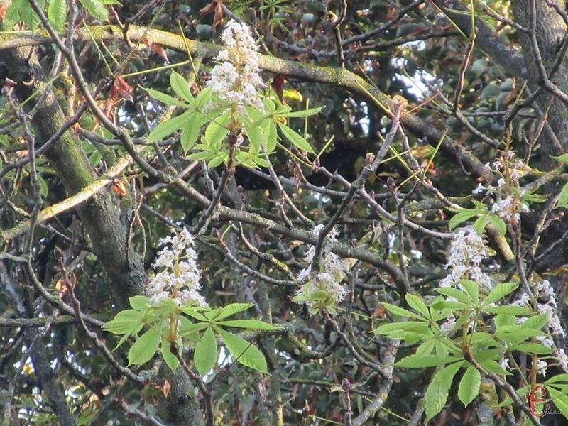 Осіннє цвітіння не завжди позитивне для дерев