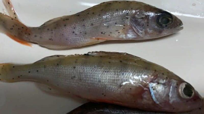 Результати досліджень показали, що риба була уражена хворобою