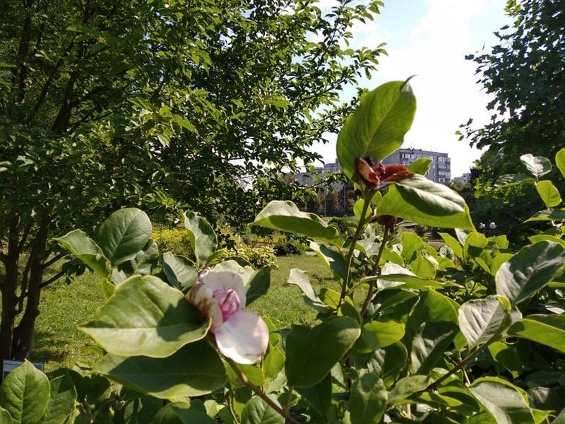 Повторне цвітіння рослин в останні роки явище часте