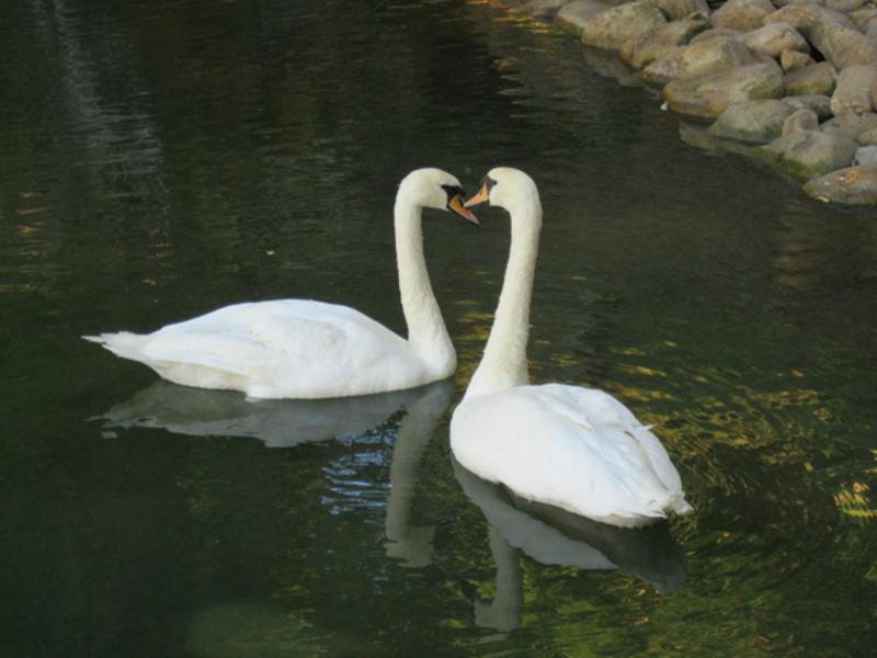 На озеро лебедів переселять уже за кілька днів