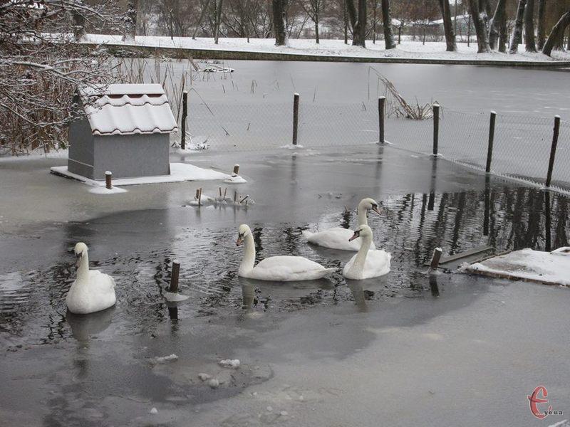 Двоє лебедів з Самчиків оселяться в Кам'янці-Подільському