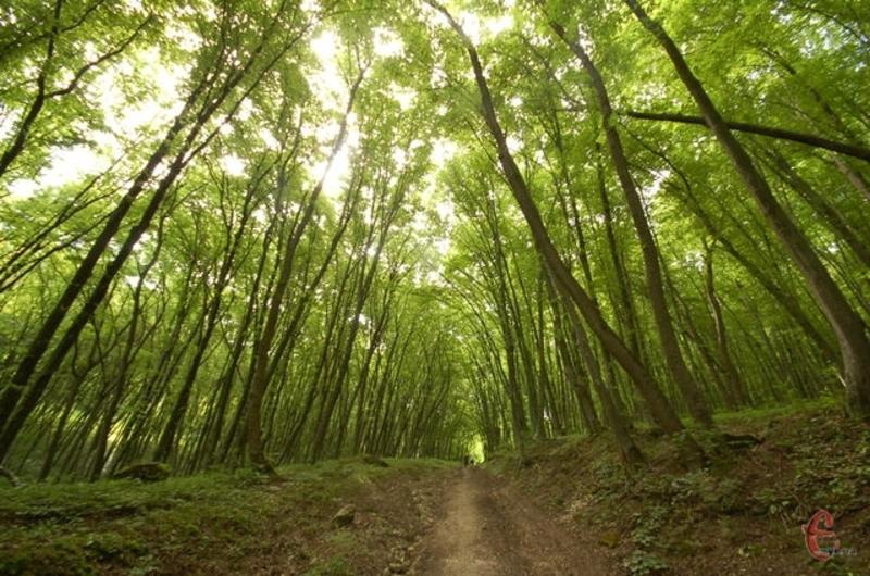 На Кармалюковій горі, що неподалік Привороття Кам'янець-Подільського району, є чарівний ліс