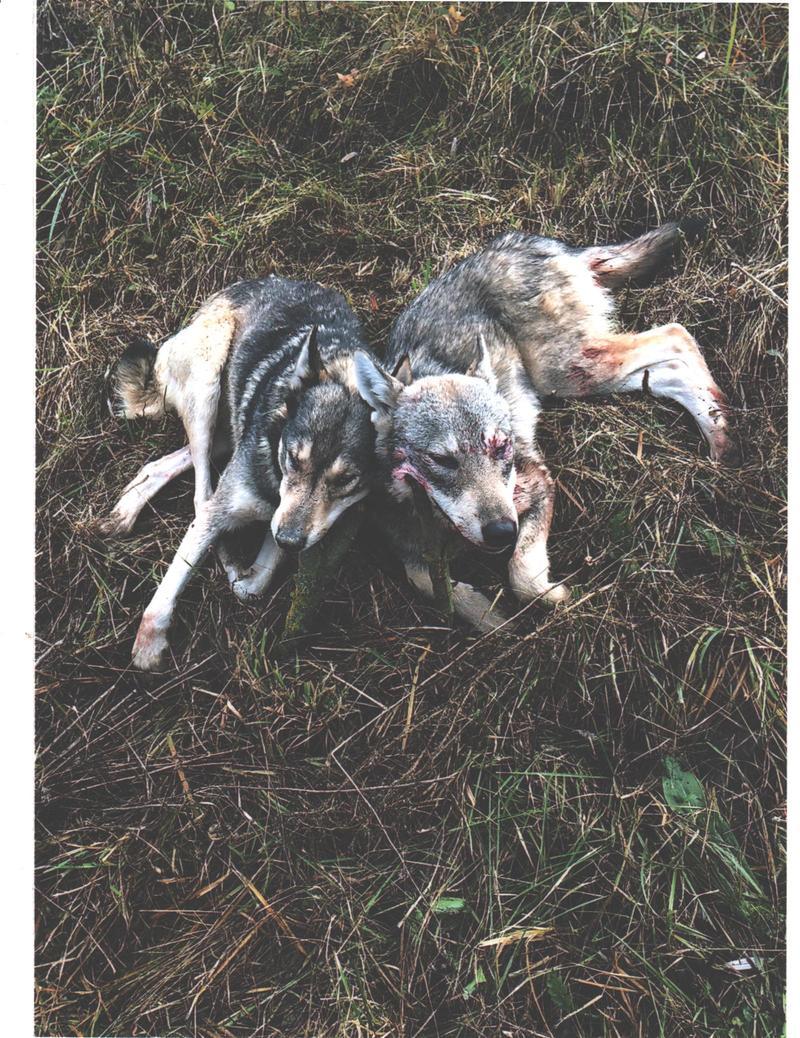 Воки і лисиці нападають на свійських тварин