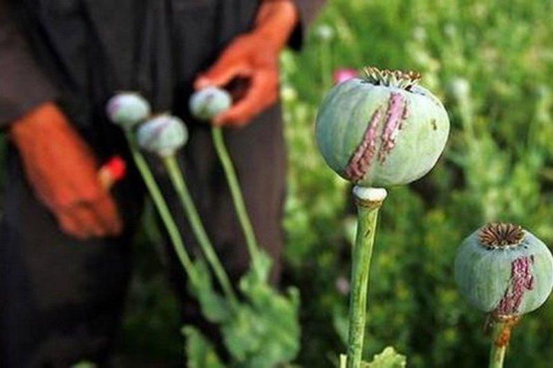 Жінка виростила 471 рослину маку